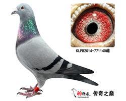 """台湾鸽会赢取98万""""戈登配林波雨配势山"""