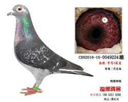 超远程老国血李鸟跃龙精品种鸽5