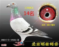 三关鸽王14