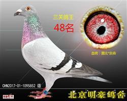 三关鸽王48(已售)