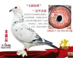 最爱毛脚:毛脚银鹰