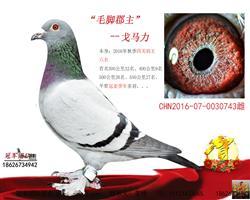 最爱毛脚:鸽王六位