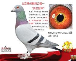 北京神州翱翔公棚--鸽王冠军
