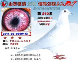 雪山飞鸽(白雪公主)白鸽
