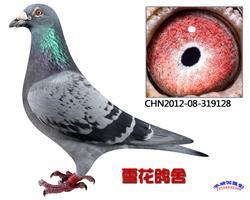 基础种鸽凡龙128