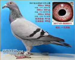 北京爱亚卡普赛绩鸽