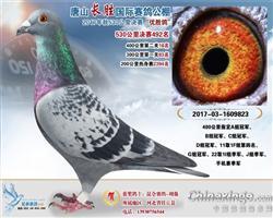 2017唐山长胜国际赛鸽公棚决赛492