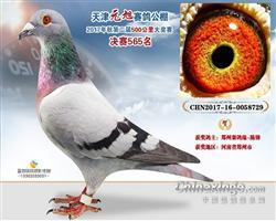 2017年天津元旭公棚决赛565名