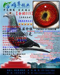 【金环019】展售中.购鸽送配对雄