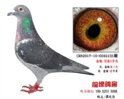 超远程老国血吴淞李鸟精品种鸽3