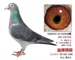 超远程老国血吴淞西翁精品种鸽4