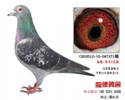 超远程老国血吴淞李鸟种鸽4