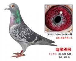 超远程老国血精品种鸽2