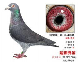 超远程老国血李鸟精品种鸽5