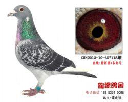 超远程杨阿腾精品种鸽4