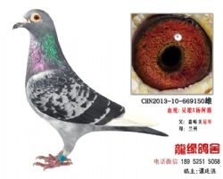 超远程老国血吴淞精品种鸽4