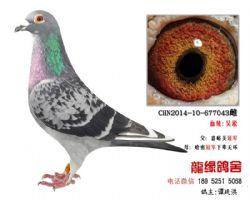 欣赏超远程老国血吴淞精品种鸽3