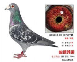 超远程老国血吴淞精品种鸽5