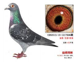 超远程老国血吴淞西翁种鸽2