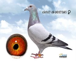 瑞麒585