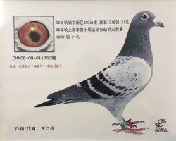 2006年上海市幼鸽特比环决赛21名