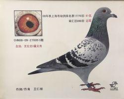 2008年上海市幼鸽排名赛81名南汇冠军