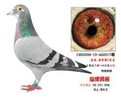 超远程老国血杨阿腾跃龙种鸽2