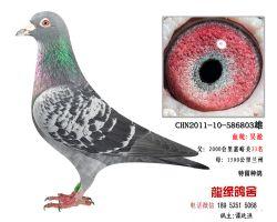 超远程老国血吴淞种鸽15