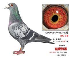 超远程老国血吴淞精品种鸽2