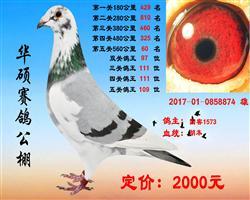 5关鸽王1000一羽