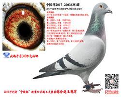 【速度女神】:17年开创者四关鸽王冠军