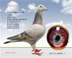 鸽王冠军戈马力