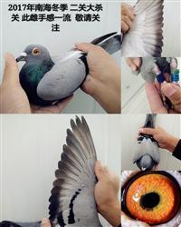 年终惠让鸽友600元/羽,买5羽再送一羽
