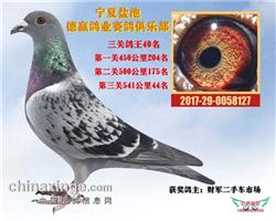 宁夏盐池德赢鸽业赛鸽俱乐部三关鸽王