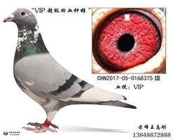 VIP种鸽