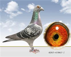 志方鸽业原环种鸽