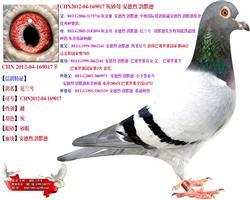 从中奥高价引进种鸽