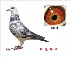 conew_5356 雌副本