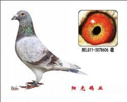 conew_belg11-3078606 雄副本
