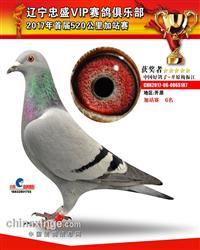 辽宁梅振江17年幼鸽正在拍卖