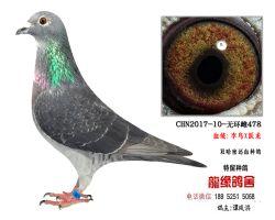 超远程老国血李鸟X跃龙种鸽3
