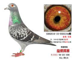 老国血吴淞精品种鸽4