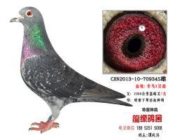 超远程老国血李鸟吴淞精品种鸽4
