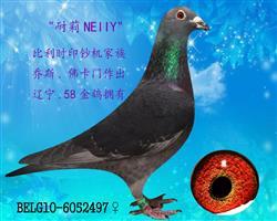 """◆佛卡门大铭鸽""""巴可*凯蒂""""传承""""耐莉"""""""