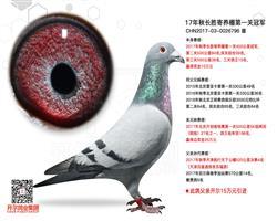 【福洛伊朗】直子,长胜寄养棚三关鸽王15
