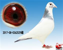 【白色闪电】529