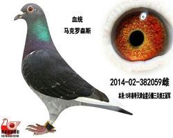 【公棚三关鸽王总冠军】059