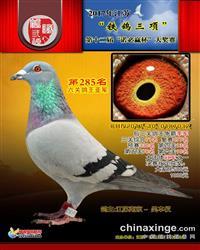 6关鸽王亚军(清棚处理一羽不留)