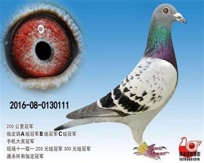【七项指定鸽冠军】111