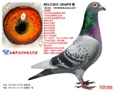 【丹尼】:15年KBDB全国速度鸽王冠军